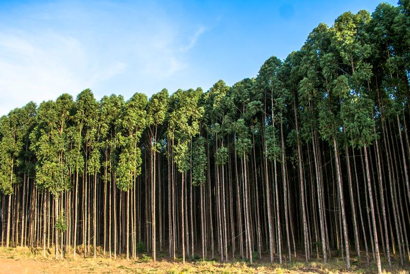 Okaliptus Uçucu Yağı - Brezilya Okaliptus Ağaçları