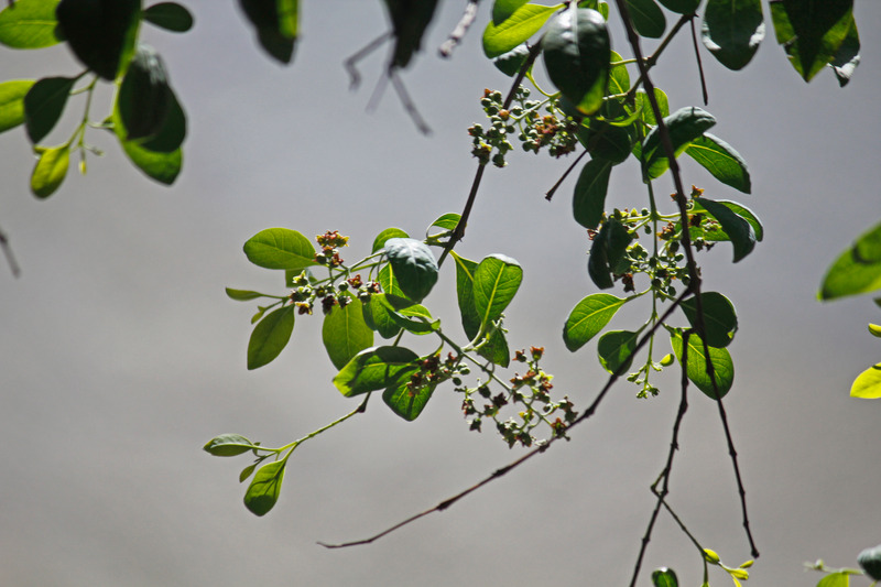 Sandal-Ağacı-Uçucu-Yağı-Yaprakları-ve-Tomurcukları