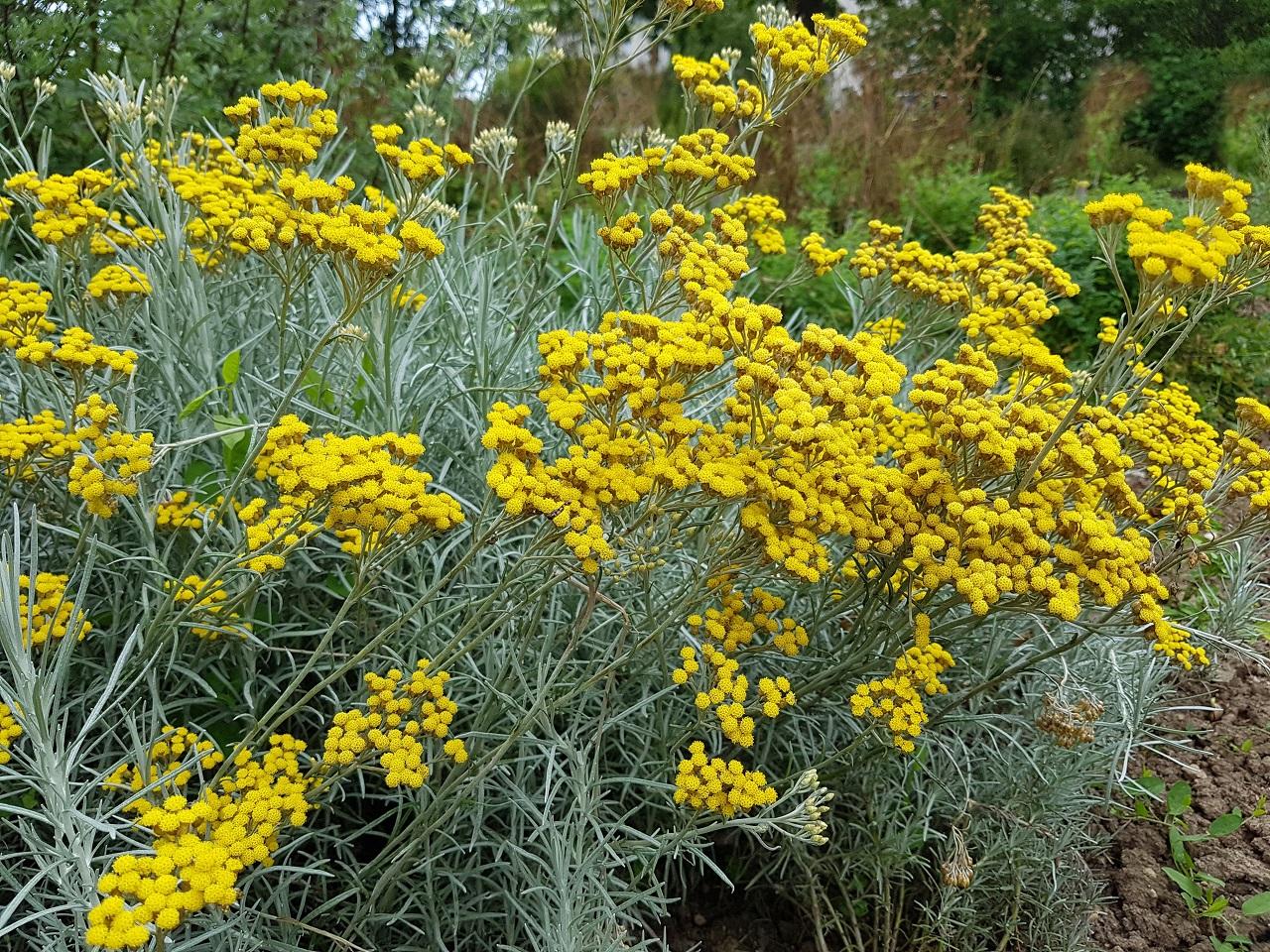 Helichrysum, Ölmez Çiçek Yağı