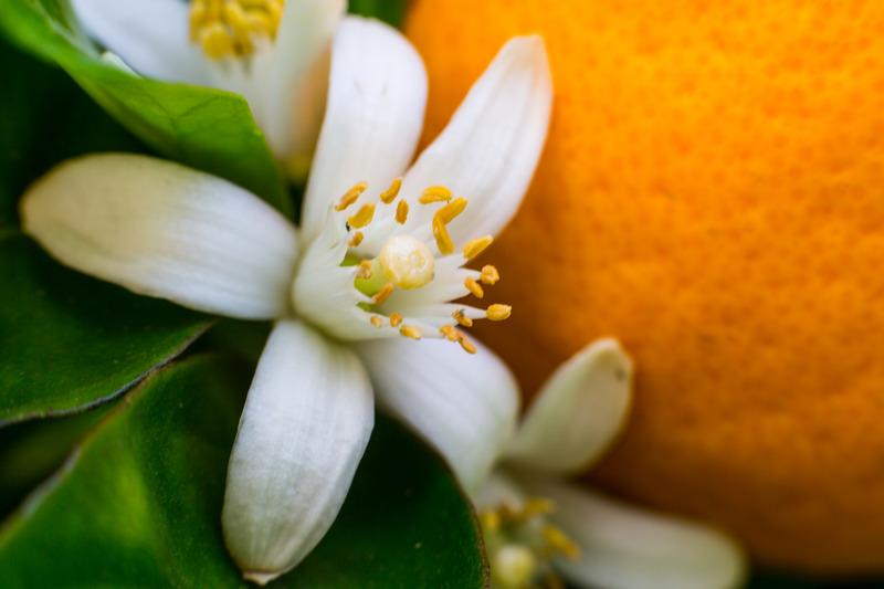 Neroli - Turunç Çiçeği Yağı Faydaları