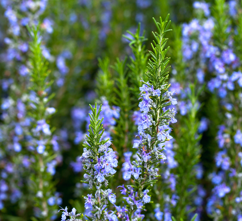 rosemary essential oil - rosmarinus officinalis