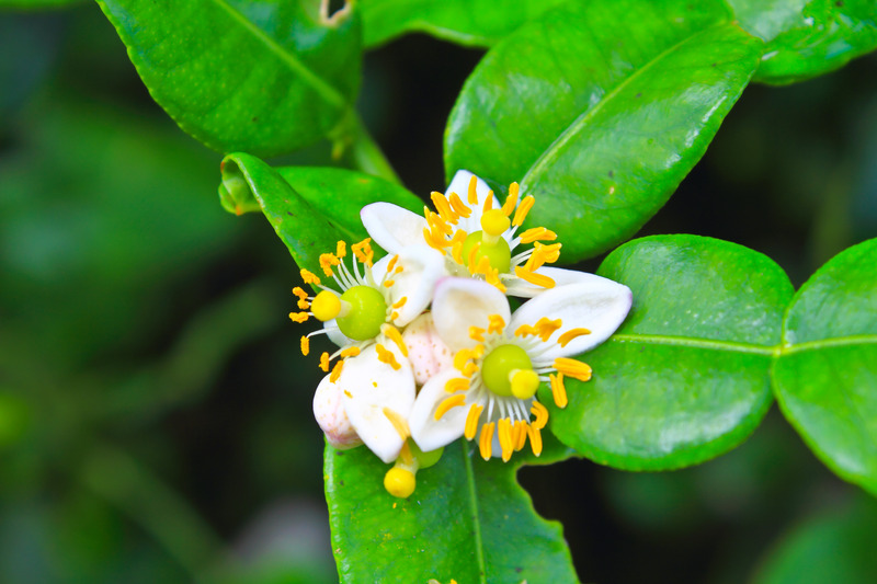 Bergamot Uçucu Yağı - Bergamot Çiçeği