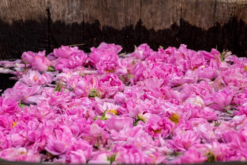 Gül Çiçeği Uçucu Yağı - Gül Fermentasyonu