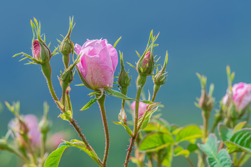 Isparta - Gül Üretimi Rose Damescane
