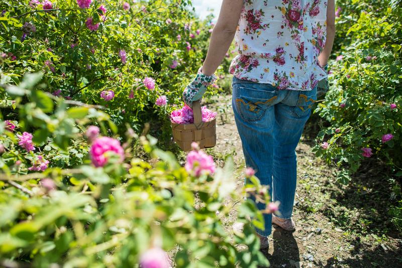 Gül Çiçeği Uçucu Yağı - Gül Toplama