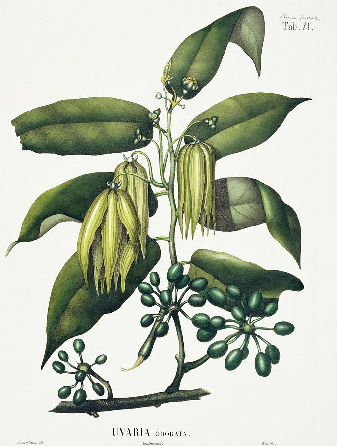 ylang-ylang-uvaria-odorata-natural-history-museum-londonscience-photo-library