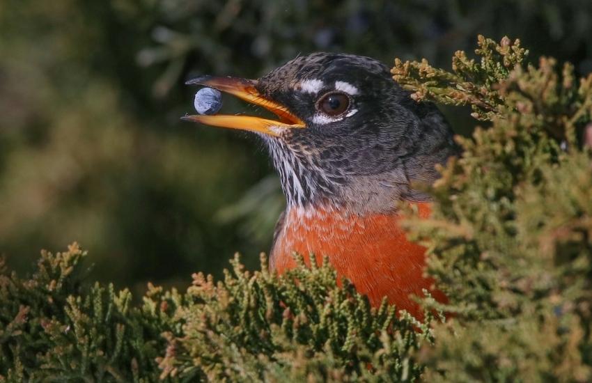 Ardıç Yemişi Yiyen Kuş
