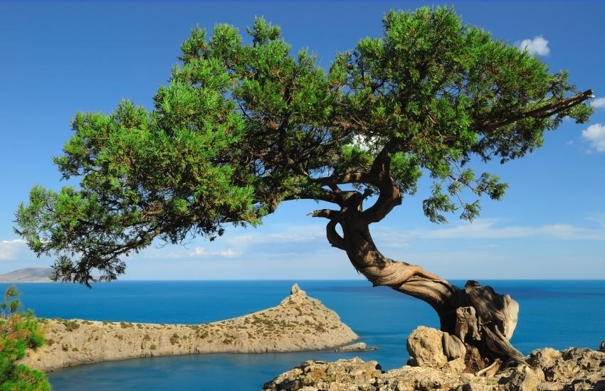 Deniz Kenarında Ardıç Ağacı ve Manzara